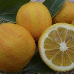 Arancio Cotidiana (Citrus sinensis)P1000997