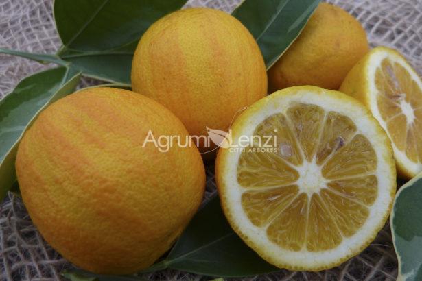 Arancio cotidiana