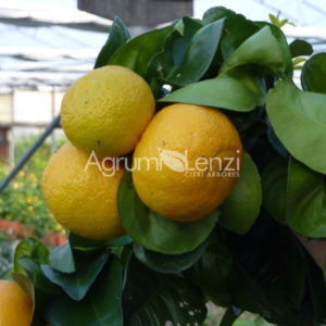 Arancio Amaro Boquet de Fleurs