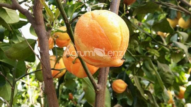 arancio bizzarria