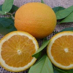 Arancio Ovale Calabrese (Citrus sinensis)