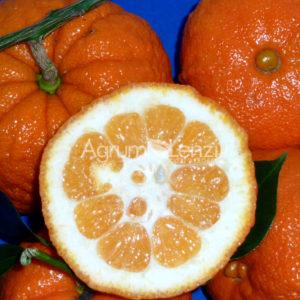 Arancio Amaro Fetifero