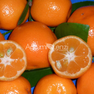 calamondino (citrus mitis) copia