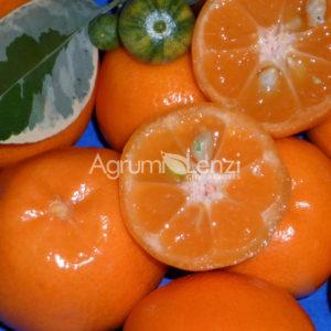 calamondino variegato (citrus mitis variegata) copia