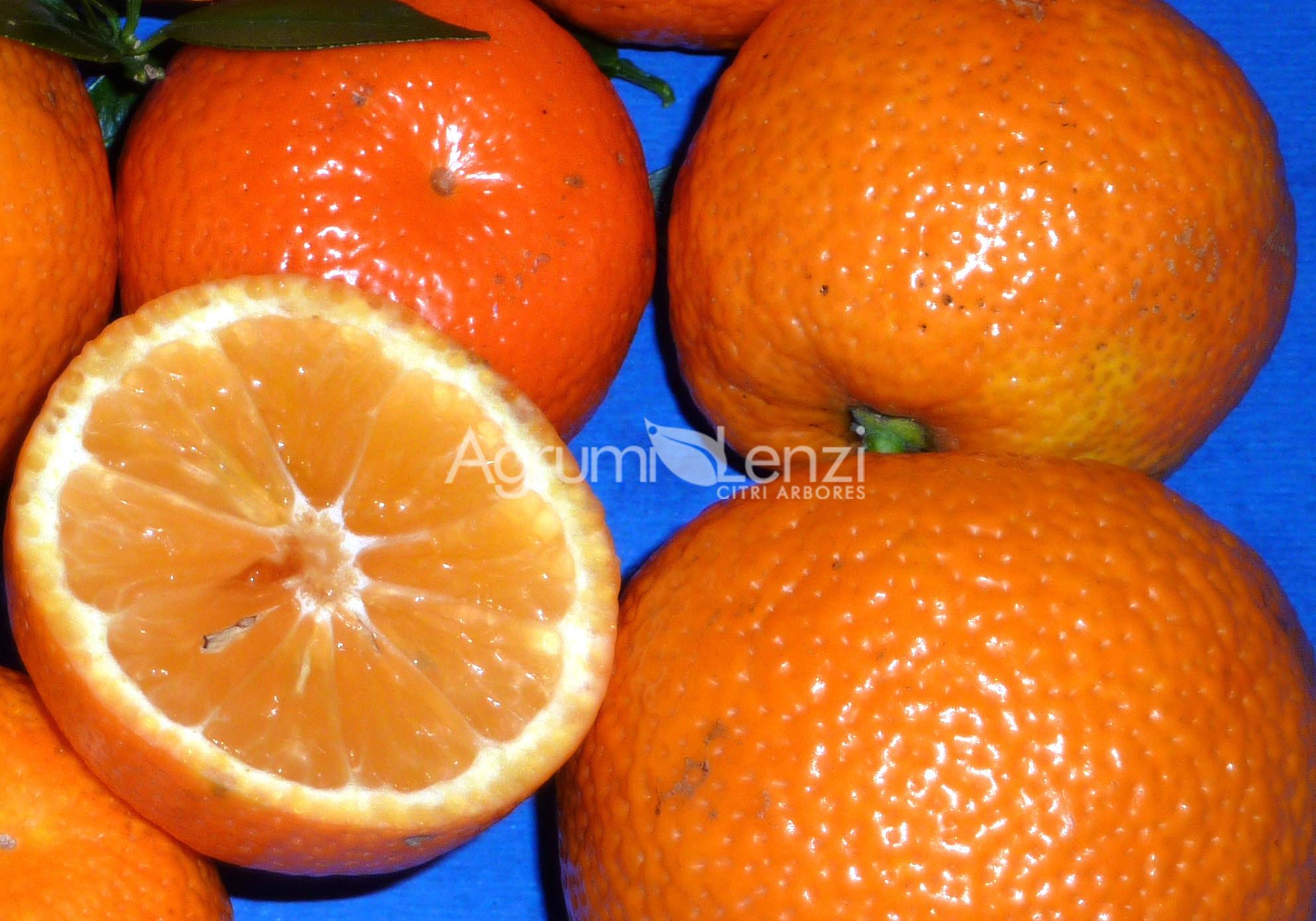 Chinotto comune citrus mirtyfolia agrumi lenzi for Citrus myrtifolia