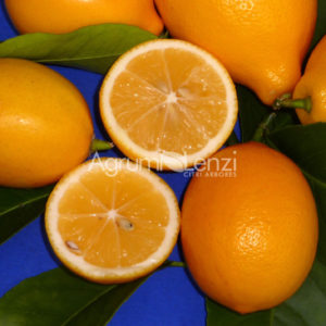 limone meyer (citrus meyerjj) copia