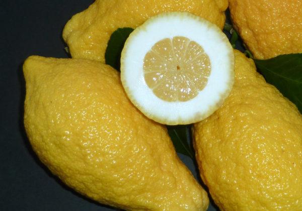 cedro pane (citrus medica) copia