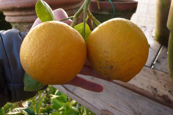 arancio karna katta