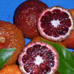 clementino rubino (citrus clementina) 1 copia