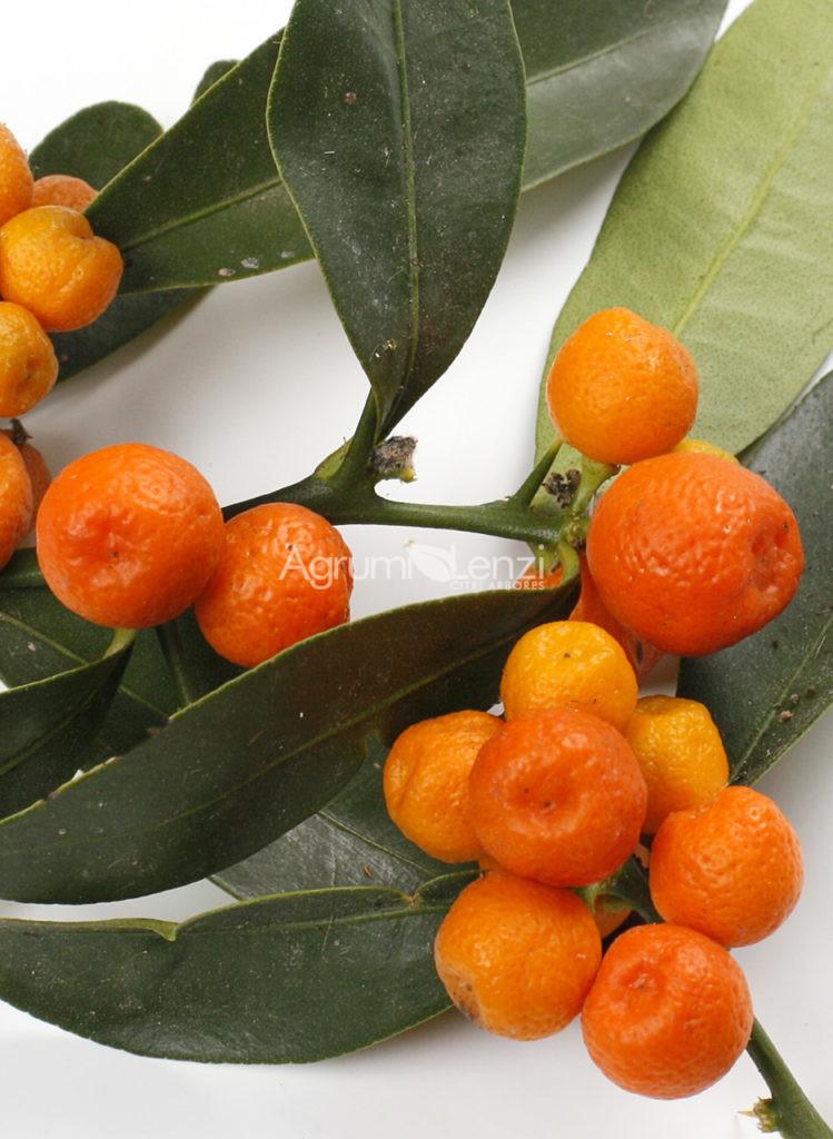 Kumquat selvatico