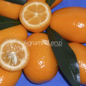 kumquat ovale (fortunella margarita) copia