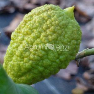 limone cedrato di castello12012014 011