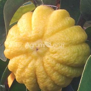 Limone Mellarosa