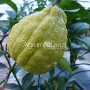 Limone Scannellato selezione 2