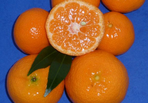 mandarino tardivo di Ciaculli (citrus deliciosa) copia
