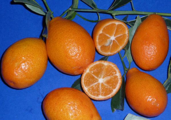 orange-quat variegato (citrus sinensis x fortunella margarita) 1