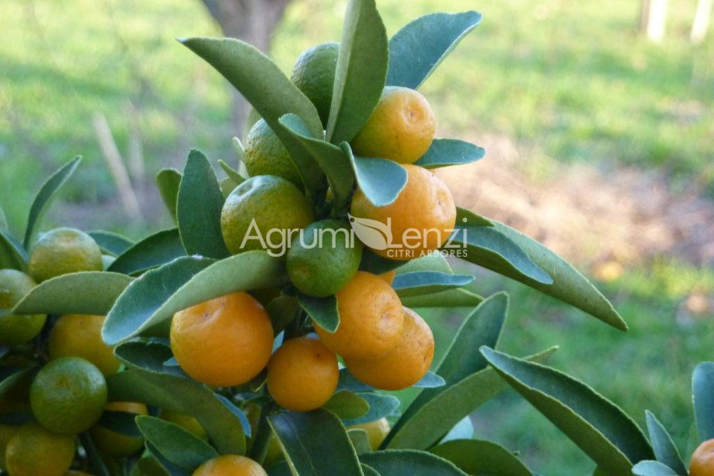 Kumquat selvatico doppio senza spine