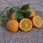 Limetta Rossa di Rangpur (Citrus limonia)P1000999