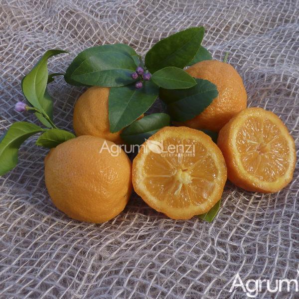 Limetta di Rangpur o Rangpur lime (Citrus limetta) Agrumi ...