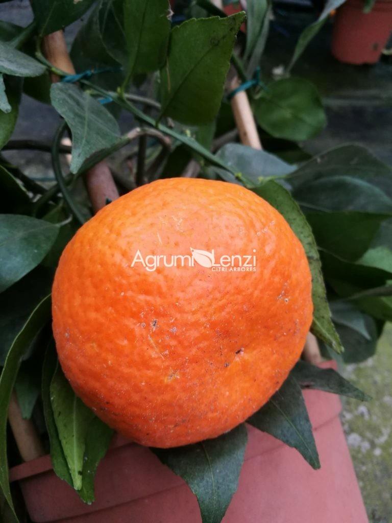 Mandarino Avana Apireno