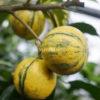 Arancio Amaro Variegato di Corsica