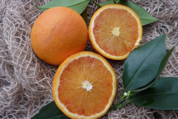 Arancio Tarocco Scirè (Citrus sinensis)