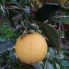 arancio variegato a polpa rossa