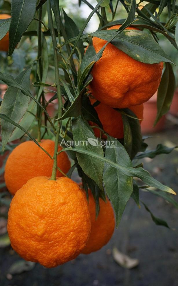 Arancio Amaro Salicifolia