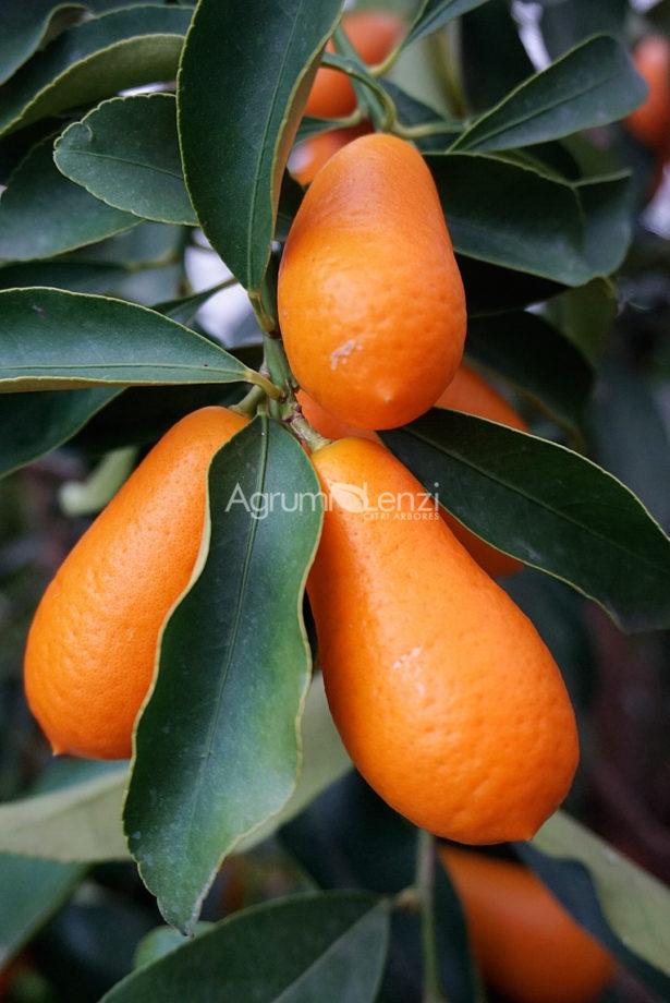 Kumquat Gigante