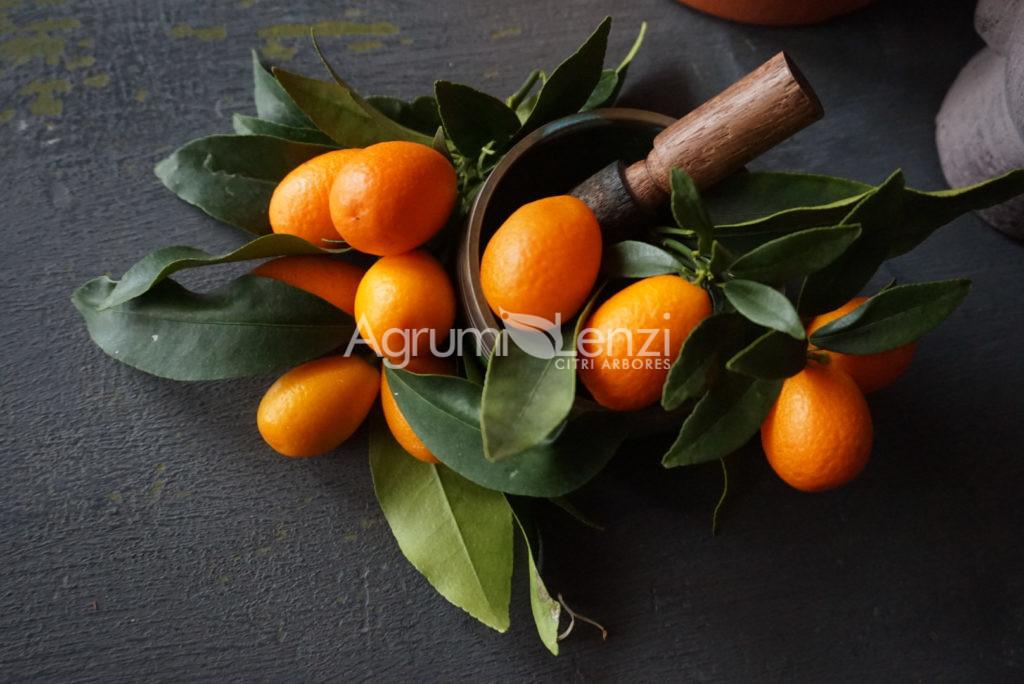 Kumquat Ovale