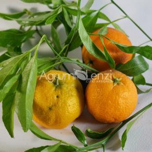 Mandarino Sunky