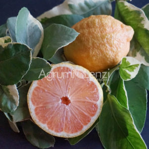 Limone Variegato a Polpa Sanguigna