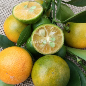 Calamansi o Philippine Lime (Citrus microcarpa)