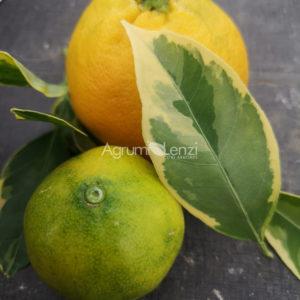 Mandarino Satsuma Variegato