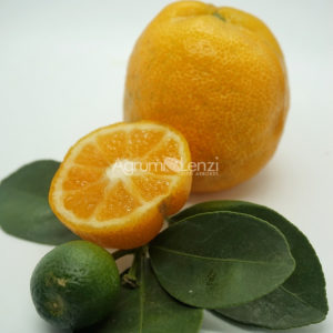 Kumquat Changshou
