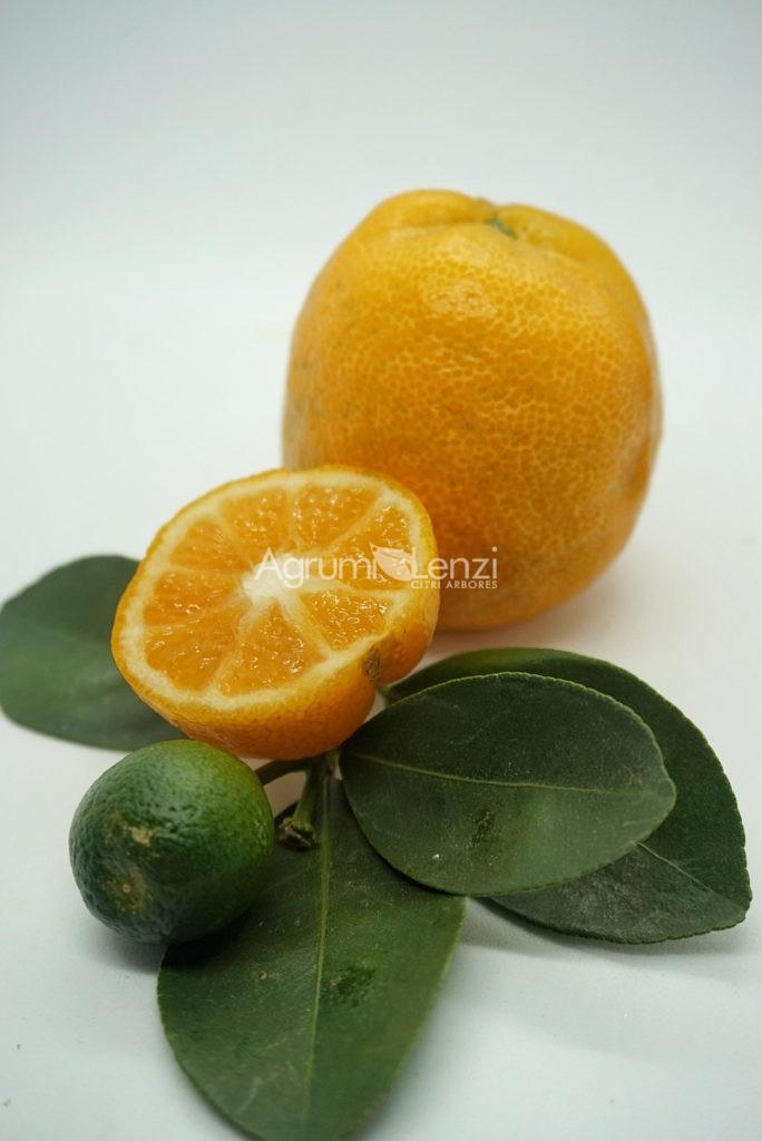 Kumquat Changshou