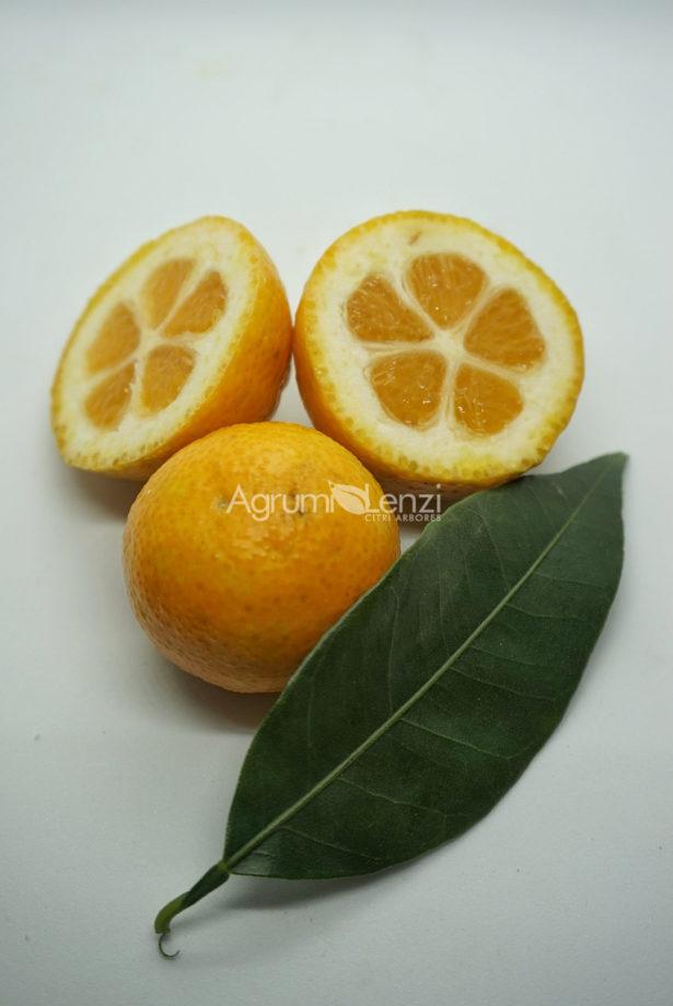 Kumquat Meiwa