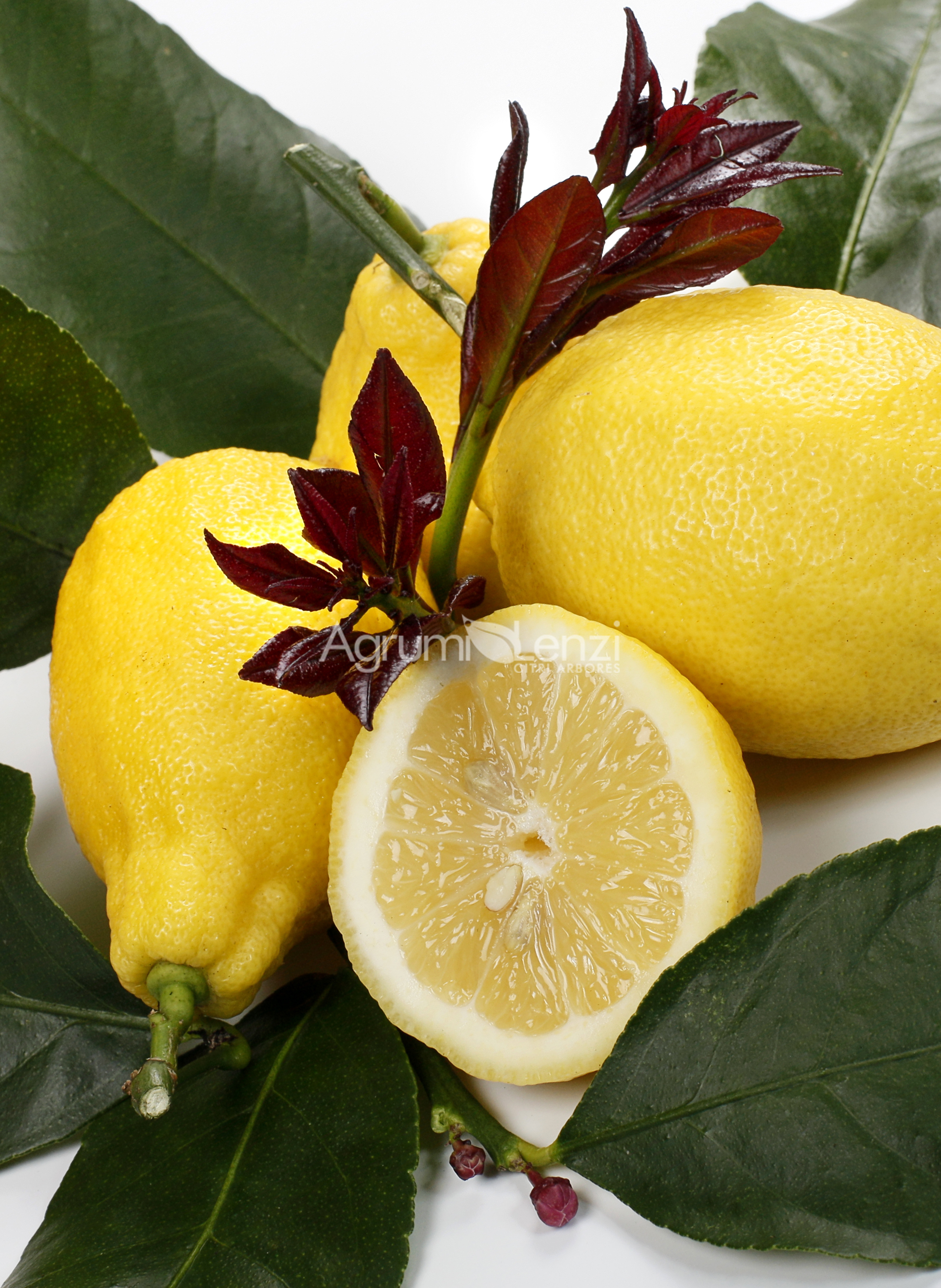limone carrubaro citrus limon agrumi lenzi. Black Bedroom Furniture Sets. Home Design Ideas