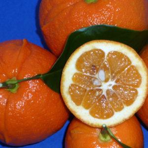 Arancio Amaro Cornuto