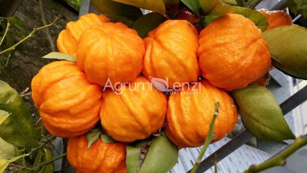 Arancio Amaro Scannellato