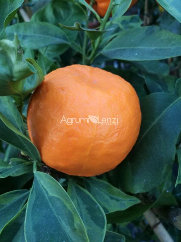 arancio amaro variegato