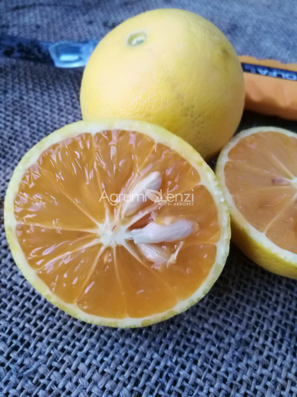 Arancio dolce variegato a polpa rossa