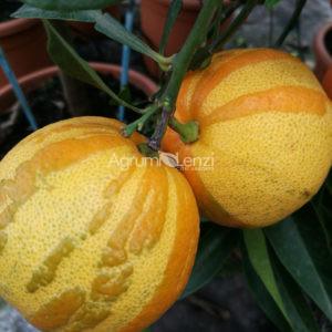 Arancio Amaro Svizzero