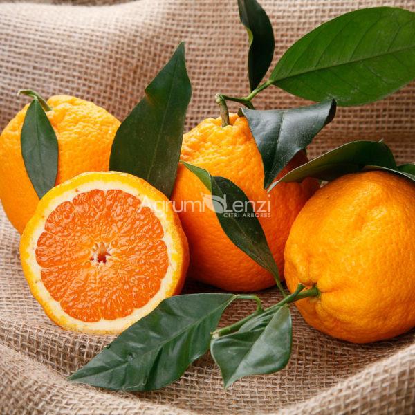 arancio valencia late nucellare