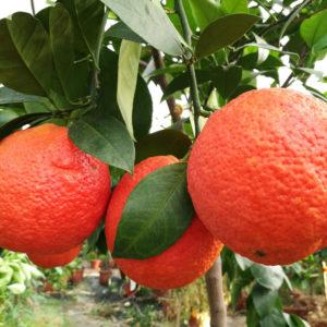 arancio vaniglia sanguinello