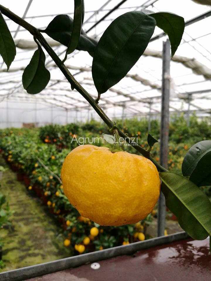 ivia di spagna citrus ichangensis agrumi lenzi