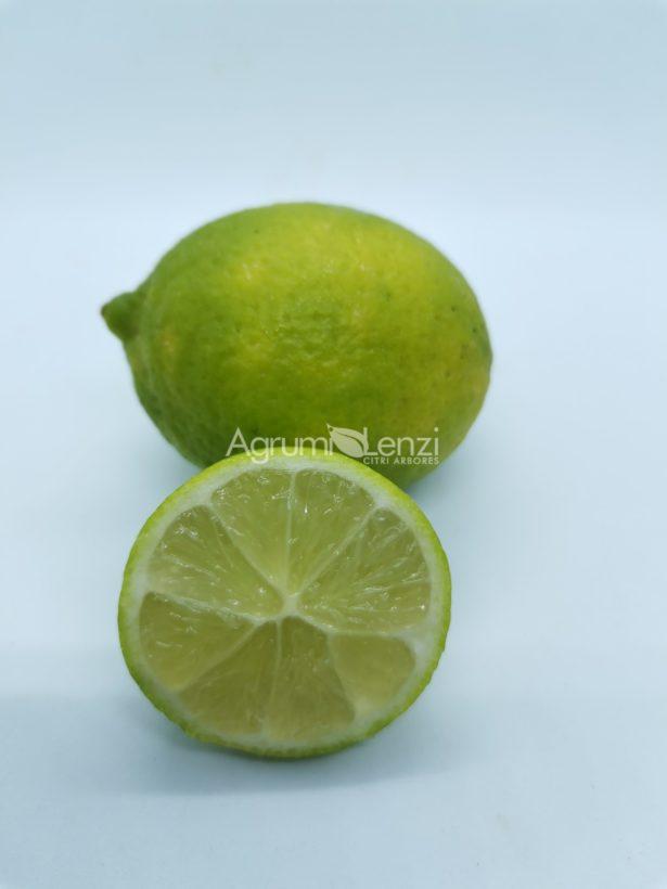 lime dei caraibi variegato