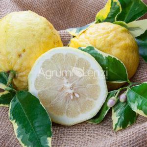 limone-cedrato-gigante-variegato