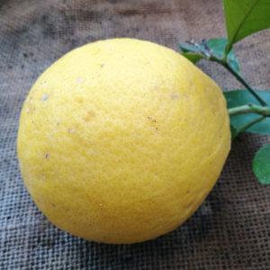 Limone cedrato rosso 2