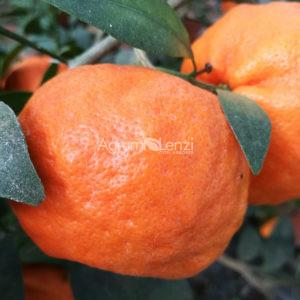 Mandarino Chang Sha